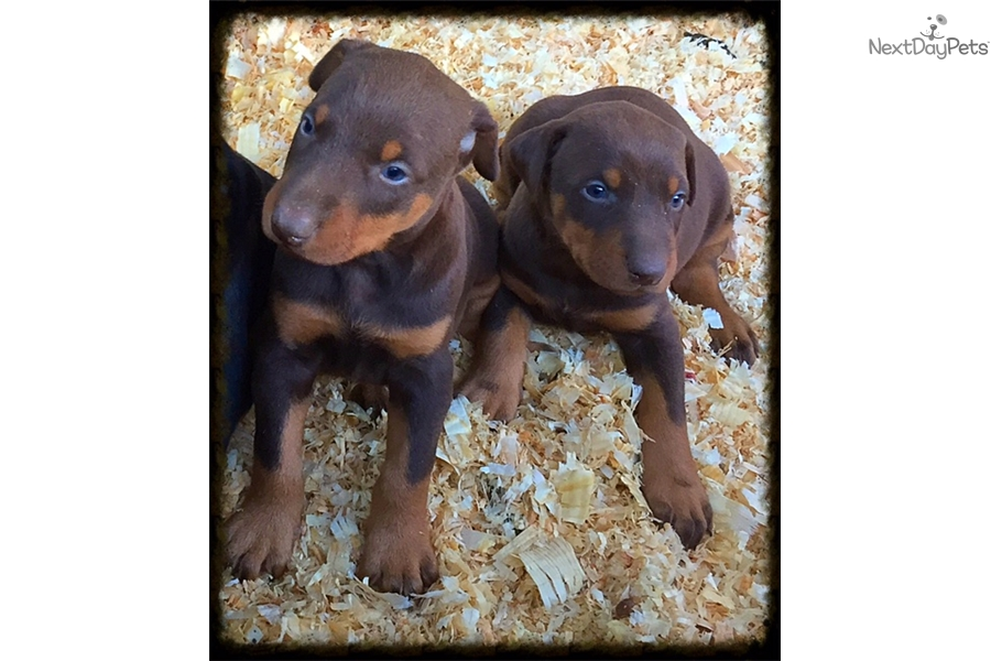 doberman pinscher puppy for sale near los angeles  california