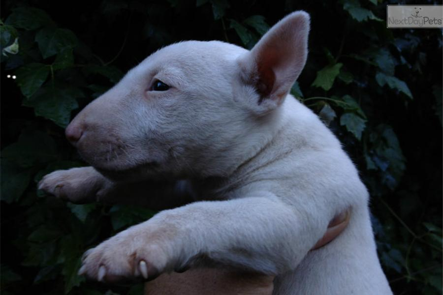 Miniature Bull Terrier puppy for sale near Los Angeles ...