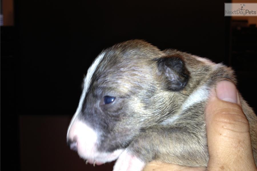 Bull Terriers | Female Bull Terrier For Sale in Los Angeles CA ...