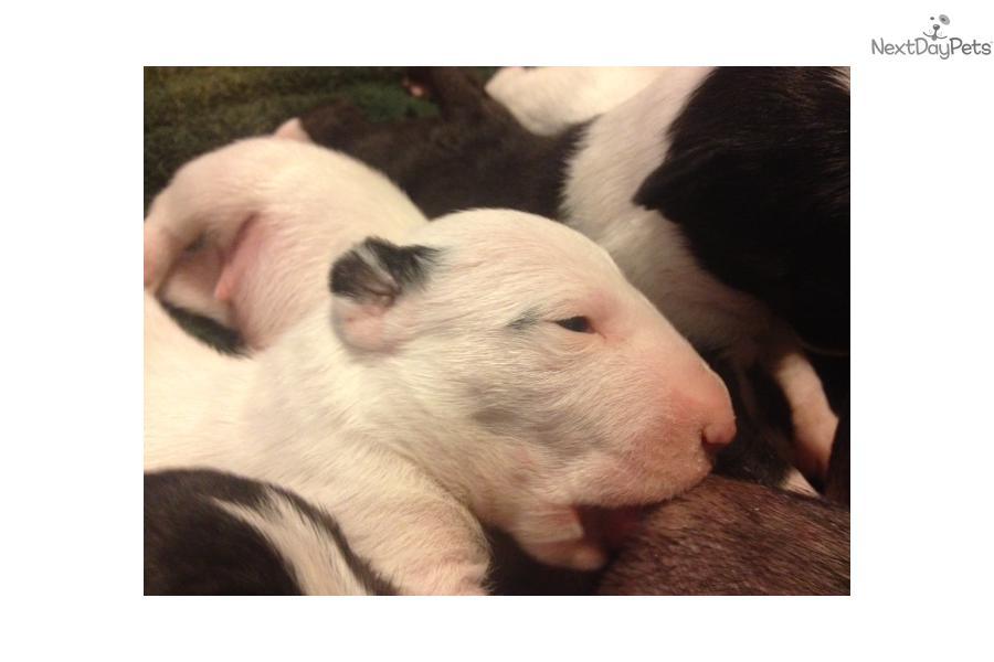 Miniature Bull Terrier puppy for sale near Los Angeles, California ...