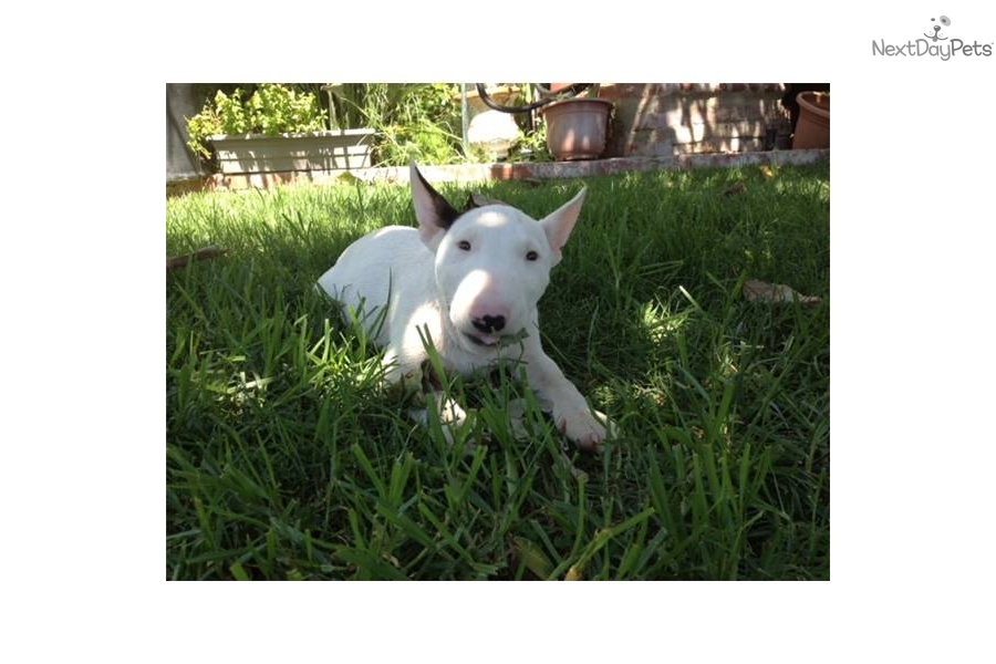 Male a cute Bull Terrier puppy for sale for $2,000. Miniature Bull ...