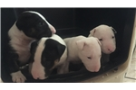Picture of Miniature Bull Terriers for Sale