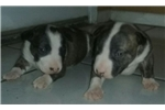 Picture of Top QUALITY Miniature Bull Terriers