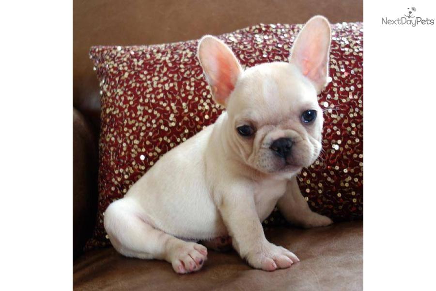 poetic-french-bulldog-abby-cream-female-akc-puppydog-french-bulldog ...