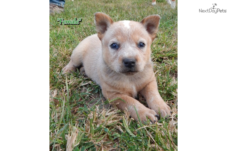 Blue Heeler Puppies For Sale In Missouri