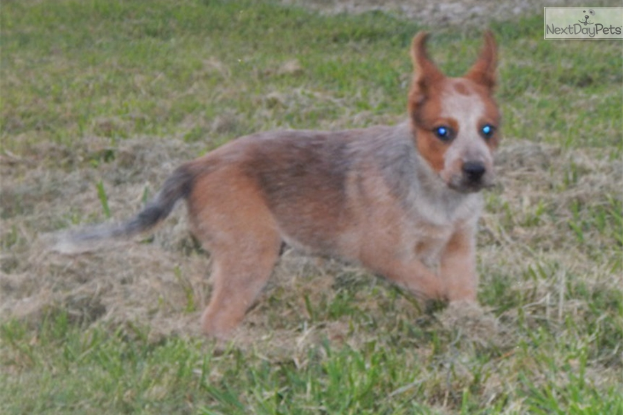 Red Heeler Personality Related Keywords & Suggestions - Red Heeler ...
