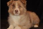 Aussiedoodle for sale