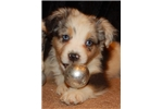 Australian Terrier for sale