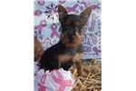Australian Terriers for sale
