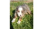Australian Terrier for sale