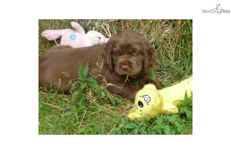 sussex spaniel puppies for sale nj