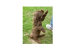Picture of AKC BIS GCH Champion Sired Sussex Spaniel Puppy