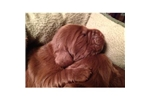 Picture of Little Sussex Spaniel Boy