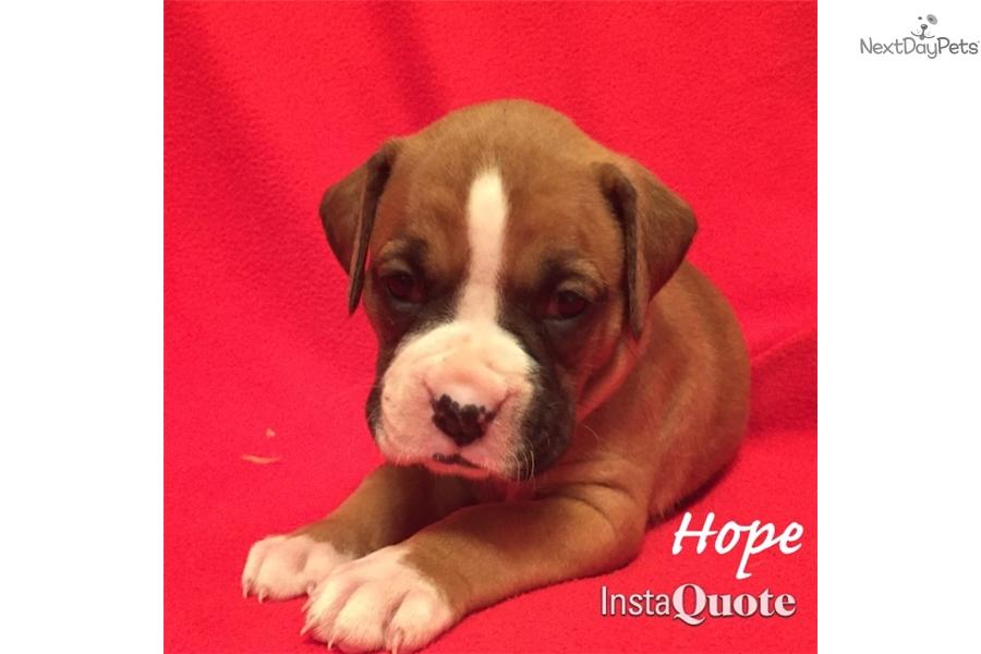 Boxer Dog For Sale In Dallas Tx