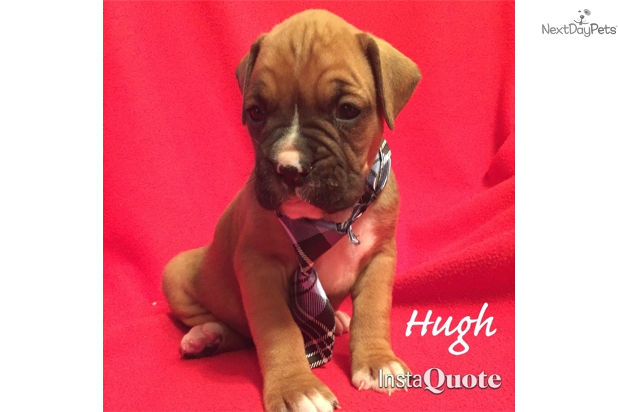 Boxer Dogs For Sale Dallas Tx