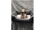 Picture of Shih Tzu for sale