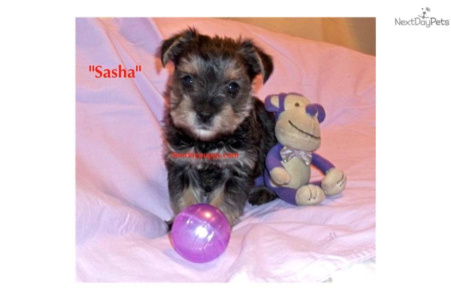 yorkie puppies in kansas listing of yorkie breeders in springfield mo