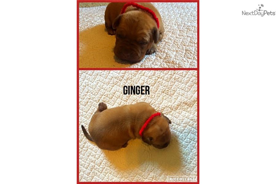 Dogue De Bordeaux Puppy For Sale Near Lafayette West Lafayette Indiana Fcbe F