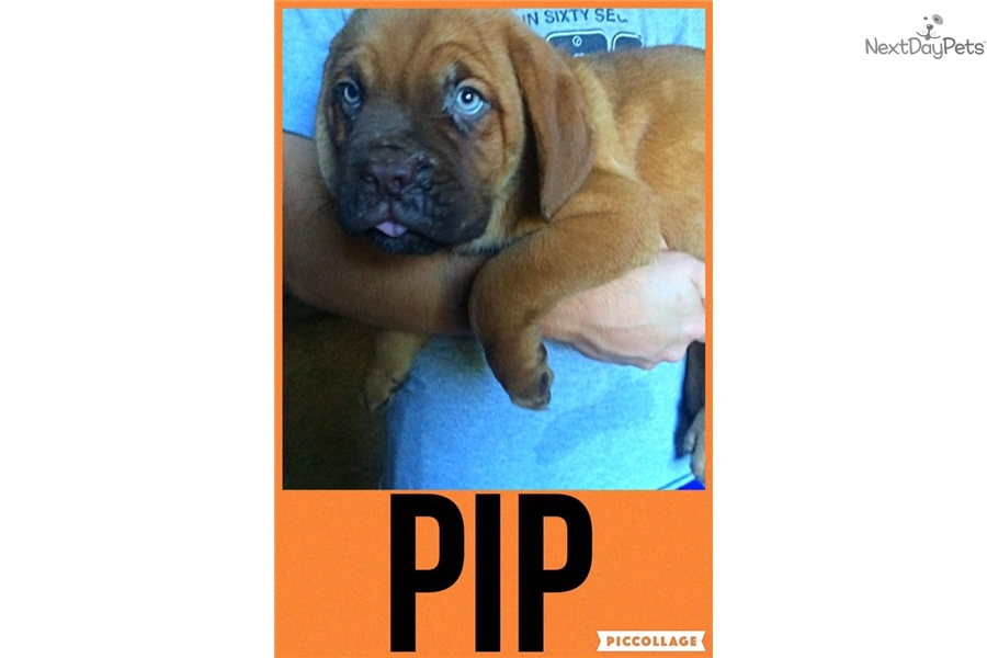 Dogue De Bordeaux Puppy For Sale Near Lafayette West Lafayette Indiana Bfbf B