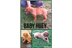 Picture of AKC Male-Baby Huey
