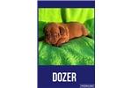 Picture of AKC Male-Dozer