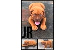 Picture of AKC Male-Jr