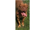 Storm | Puppy at 25 months of age for sale