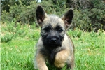 Picture of ADORABLE AKC MALE CAIRN PUP in SO. CALIF.