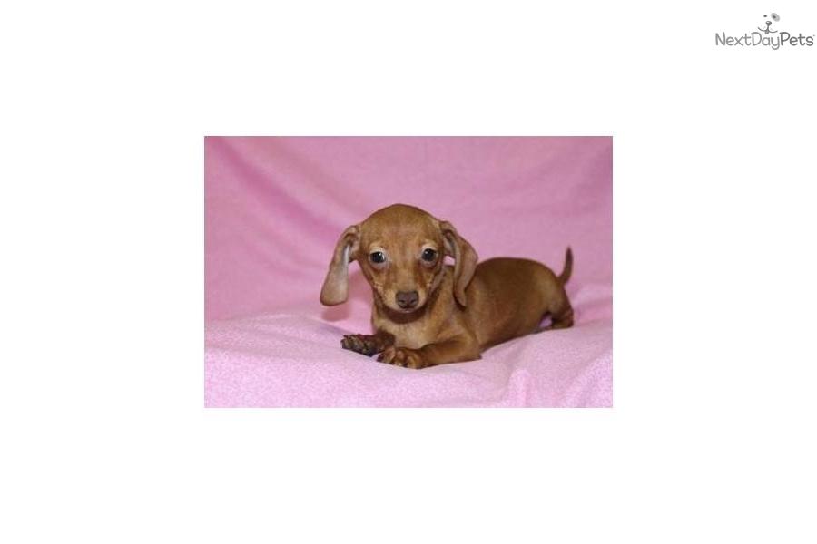 Meet Abbi A Cute Dachshund Mini Puppy For Sale For 299