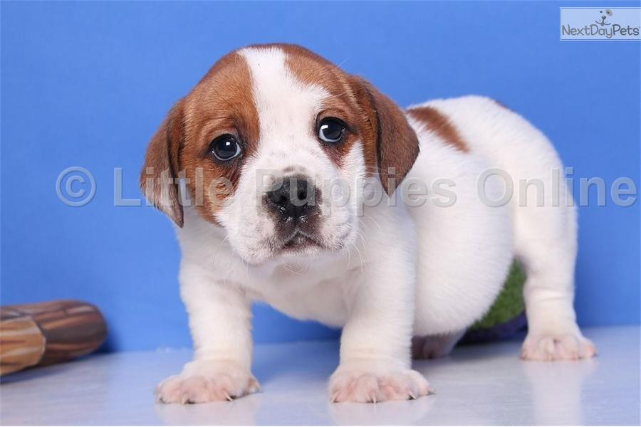 ... Percy a cute Beabull puppy for sale for $399. Percy - Male Beabull