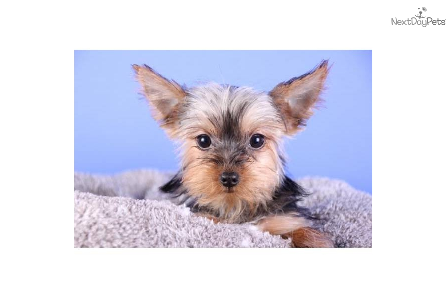 Meet Bella a cute Yorkshire Terrier - Yorkie puppy for ...