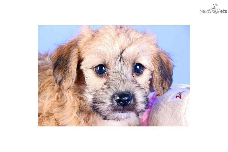 Yorkie Poo Puppies Download Red And Blonde   Dog Breeds Picture
