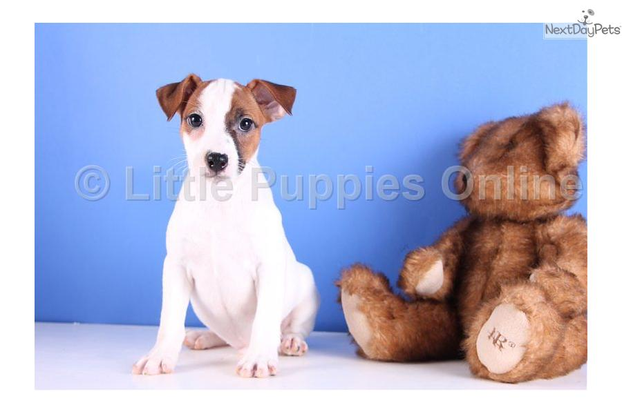 Russell Bassett Wallpapers jack russell terrier puppies pictures funny pet wallpapers cute