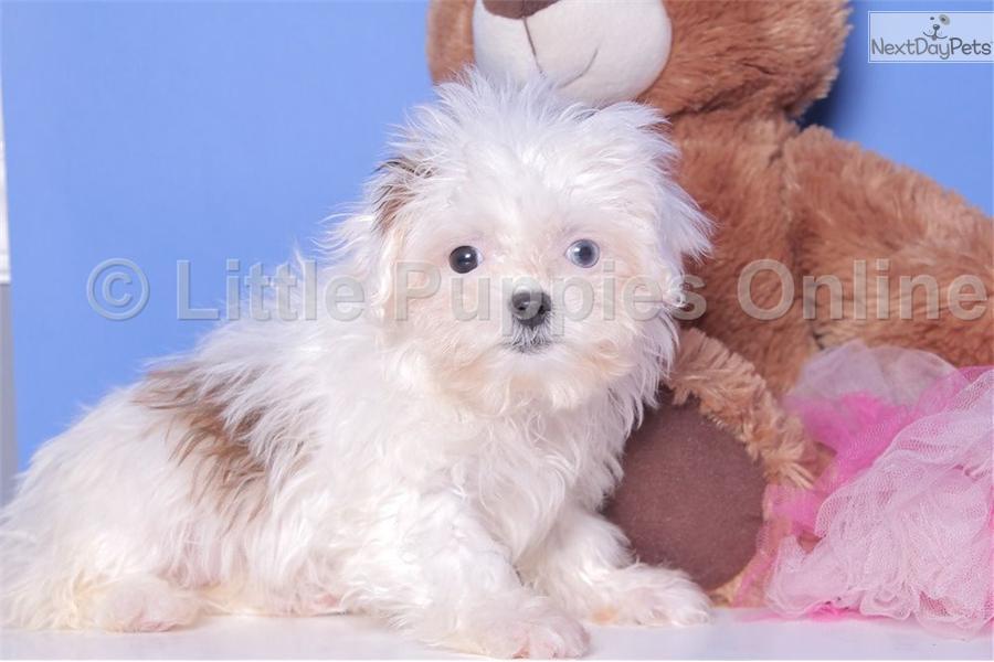 shihpoo shihpoo puppy for sale near columbus ohio