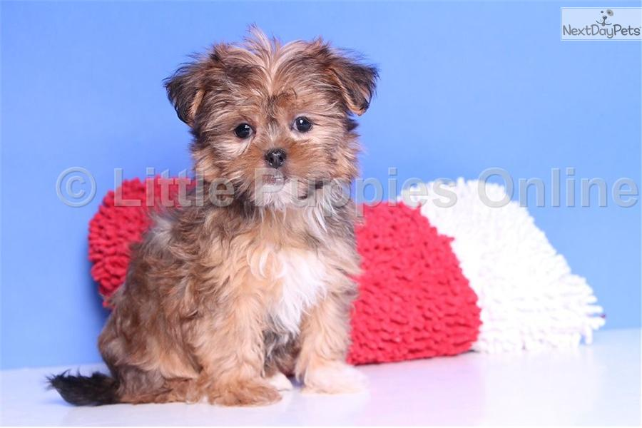 ... Trixie a cute Shorkie puppy for sale for $499. Trixie - Female Shorkie