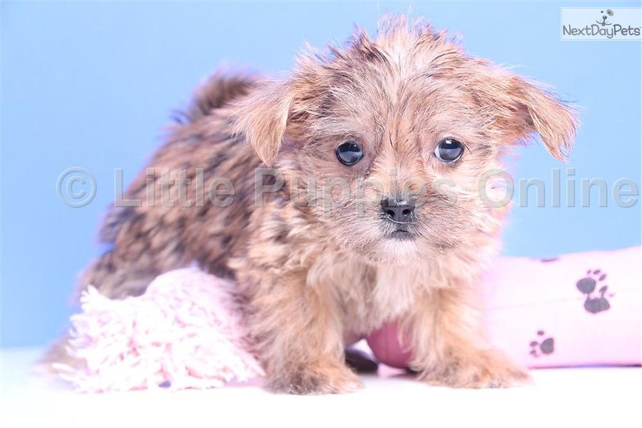 ... cute Shorkie puppy for sale for $599. Sweetpea - Female Teacup Shorkie
