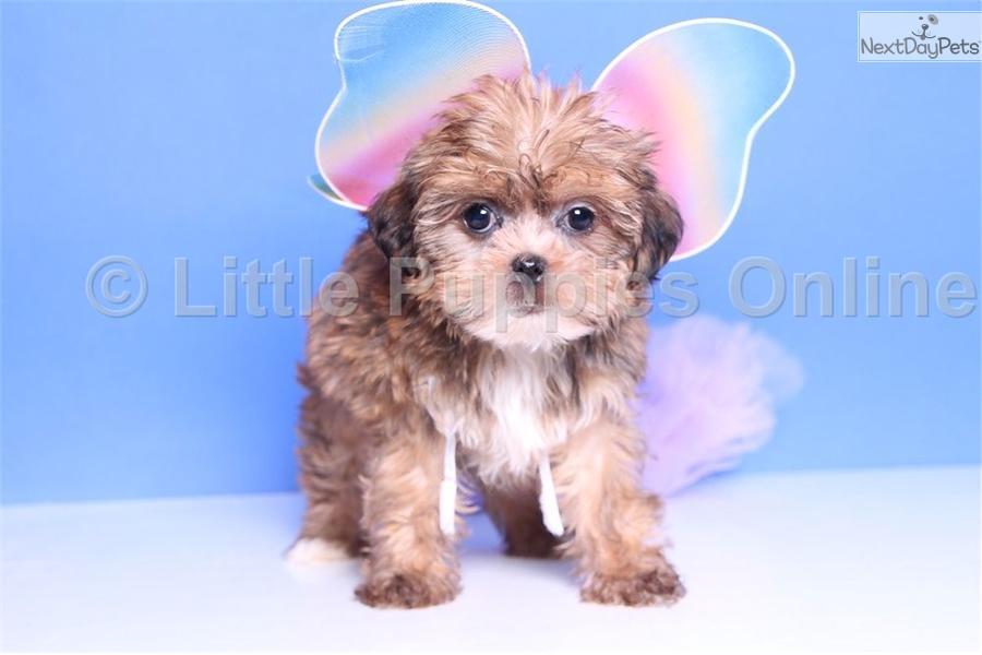 ... Annie a cute Shorkie puppy for sale for $499. Annie - Female Shorkie