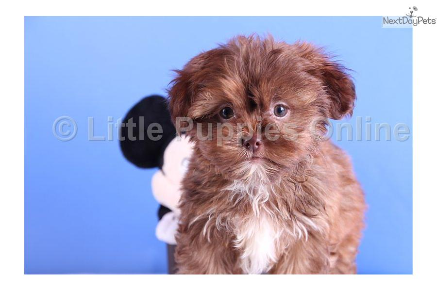 Meet Wally a cute Shorkie puppy for sale for $499. Wally - www ...