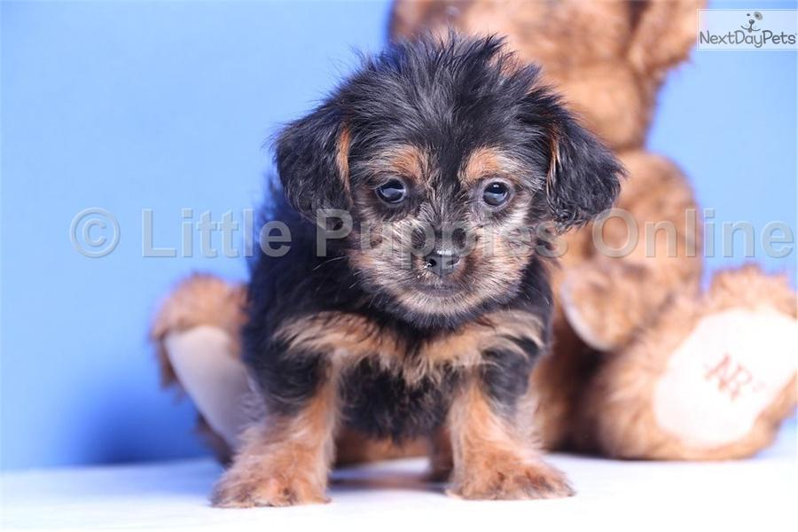 ... Trixie a cute Shorkie puppy for sale for $299. Trixie - Female Shorkie