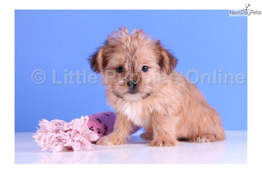 Meet Tut a cute Shorkie puppy for sale for $499. Tut - www ...