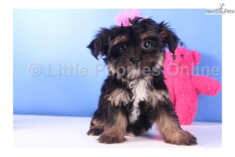 ... Bella a cute Shorkie puppy for sale for $599. Bella - Female Shorkie