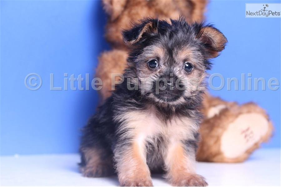 ... Axle a cute Shorkie puppy for sale for $499. Axle - Male Toy Shorkie