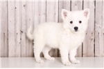 American Eskimo Dog for sale
