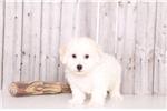 Picture of Leo - Male ACA Bichon