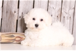 Picture of Everest - Male Bichon Frise
