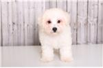 Picture of Teddy - Male AKC Bichon