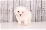 Picture of Toby - Male Bichon Frise