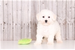 Picture of Oliver - Male Bichon Frise