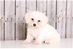 Picture of Stew - Male Bichon Frise