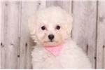 Picture of Suzie- Female Bichon